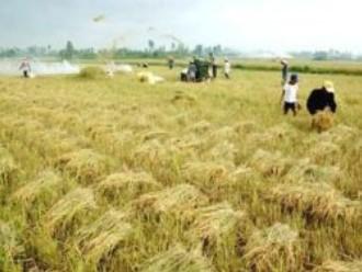 Thái Bình mở rộng diện tích sản xuất lúa chất lượng cao
