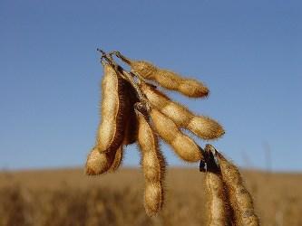 Giá đậu tương xuống thấp nhất 3 tháng do nguồn cung tăng mạnh
