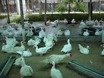 Các doanh nghiệp nước ngoài đang thâu tóm ngành chăn nuôi Việt Nam
