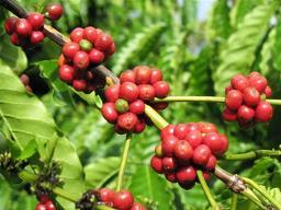Doanh nghiệp xuất khẩu cà phê chịu nhiều áp lực