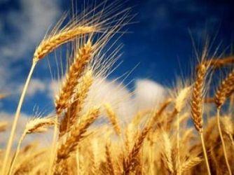 Giá lúa mỳ tăng do lo ngại Ukraine hạn chế xuất khẩu