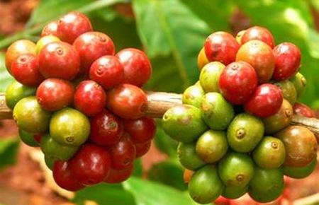 Sản lượng cà phê Đắk Lắk có thể  giảm mạnh