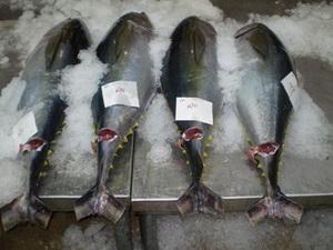 Nâng cao năng lực quản lý nghề cá ngừ đại dương