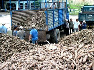 Xuất khẩu sắn phụ thuộc lớn vào thị trường Trung Quốc