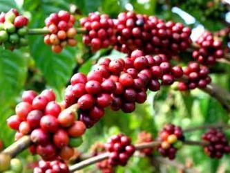 Giá cà phê trong nước giảm 400 nghìn đồng/lượng