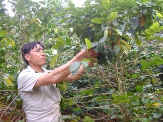 Diện tích cà phê tại Đắk Lắk giảm mạnh năm 2012