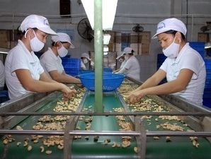 Ngành điều Việt Nam có nguy cơ thành gia công cho thế giới