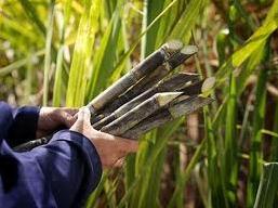 Doanh nghiệp mía đường trông chờ chính sách để lên kế hoạch 2013