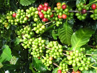 Giá cà phê trong nước trở lại mốc 38 triệu đồng/tấn