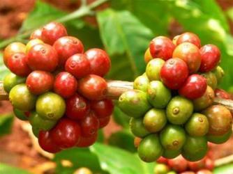 Giá cà phê trong nước tăng thêm 100 nghìn đồng/tấn