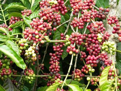 Các thị trường cà phê đồng loạt tăng tuần đầu năm mới