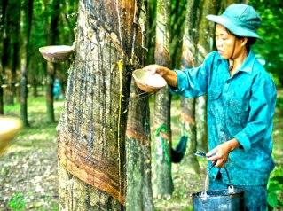 Việt Nam đứng thứ ba thế giới về xuất khẩu cao su tự nhiên