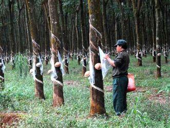 Hình thành vùng tam giác phát triển cao su Việt Nam - Lào - Campuchia