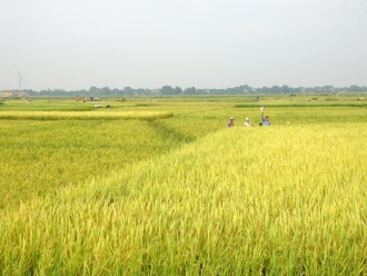 Giảm diện tích gieo trồng lúa chất lượng thấp