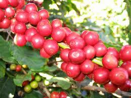 Giá cà phê giảm 100 nghìn đồng/tấn