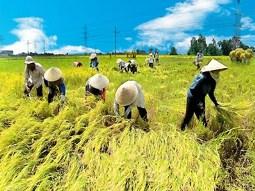 Giá lúa ở ĐBSCL liên tục giảm mạnh