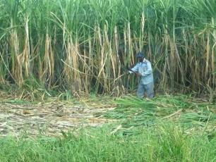 Brazil thu hoạch mía đường sớm do sản lượng kỷ lục