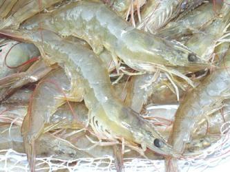 Mỹ khẳng định tôm Việt Nam gây thiệt hại cho ngành tôm nội địa