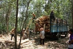 Các doanh nghiệp chế biến dăm gỗ Quảng Ngãi có nguy cơ phá sản