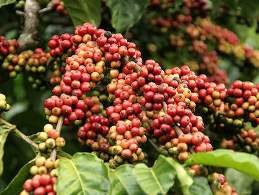 Sản lượng cà phê có thể giảm nghiêm trọng do hạn hán