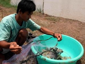 Tôm nuôi tại Trà Vinh chết diện rộng do nhiễm đốm trắng