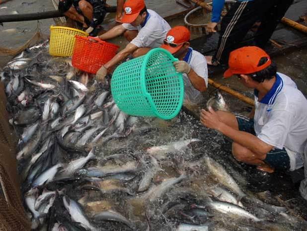 Sản lượng cá tra, basa của Việt Nam năm 2013 dự kiến giảm 30%