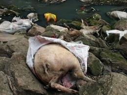 Trung Quốc hoàn tất dọn dẹp xác lợn trên sông Hoàng Phố