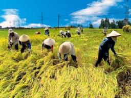 Nông dân trồng lúa thu nhập ngày càng thấp