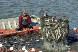 Mỹ sẽ giảm các cuộc thanh tra cá da trơn trùng lặp