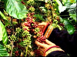 Giá cà phê Tây Nguyên giảm phiên thứ 2 liên tiếp