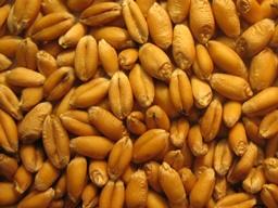 Giá lúa mì tăng 2 ngày liên tiếp