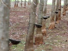 Campuchia tăng cường xuất khẩu cao su