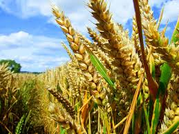 Giá nông sản tăng do lo ngại nguồn cung thiếu hụt