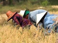 Xuất khẩu gạo Myanmar lên cao nhất 46 năm
