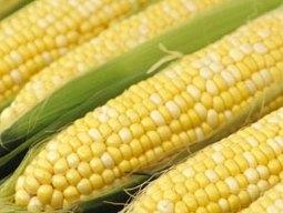 Giá ngô lên cao nhất 3 tuần do tiến độ gieo trồng chậm