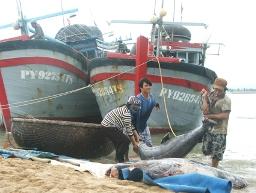 Gần 300 tàu câu cá ngừ Phú Yên nằm bờ do giá cá giảm mạnh