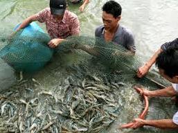 Xuất khẩu tôm Thái Lan có thể giảm 50% trong năm nay
