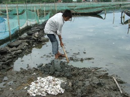Cá mú Quảng Ngãi chết hàng loạt