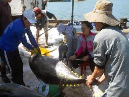 """Xuất khẩu cá ngừ phải có dấu """"Dolphin Safe"""""""