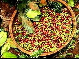 Sản lượng cà phê cả nước niên vụ 2013-2014 sẽ giảm 25%