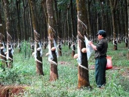 """Campuchia bác bỏ cáo buộc doanh nghiệp Việt Nam """"phá rừng"""""""