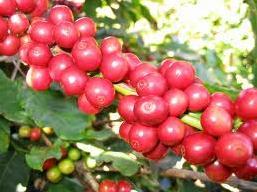 Giá cà phê Tây Nguyên lại giảm mạnh về 40,2 triệu đồng/tấn