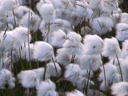 USDA hạ dự báo sản lượng bông Mỹ