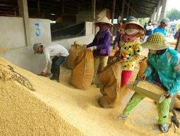 Giá lúa gạo vẫn giảm bất chấp mua tạm trữ