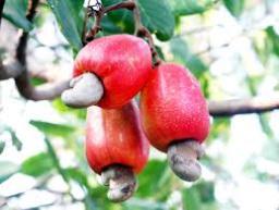 Điều Bình Định mất mùa, giá giảm 2.000-3.000 đồng/kg so với năm ngoái