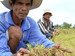Giá lúa ĐBSCL tiếp tục xuống thấp do mưa kéo dài khiến lúa mọc mầm