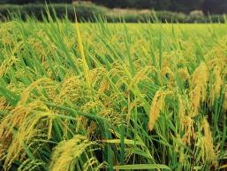Cần Thơ thu mua tạm trữ 131.000 tấn gạo vụ hè thu