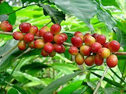 Giá cà phê Tây Nguyên tăng mạnh lên trên 39 triệu đồng/tấn