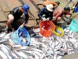 Giá cá tra nguyên liệu ĐBSCL tuần này ổn định