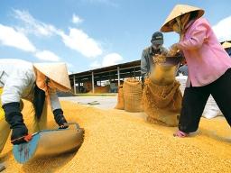 Giá lúa ĐBSCL tăng 150-200 đồng/kg kể từ khi triển khai mua tạm trữ